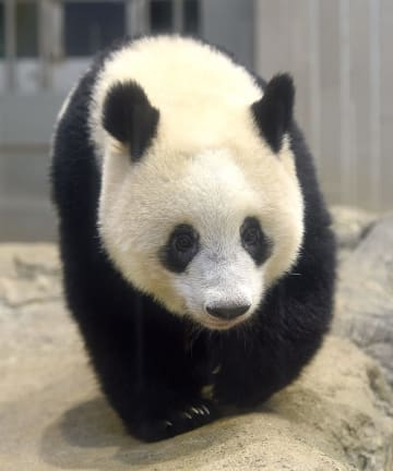 ジャイアントパンダの子ども、シャンシャン=10月22日、東京・上野動物園(東京動物園協会提供)