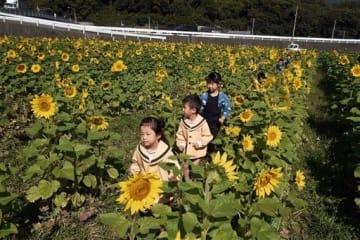 ヒマワリ畑を散策する有明保育園の子どもたち=熊本市西区