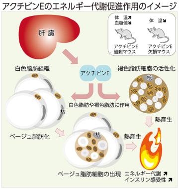 アクチビンEのエネルギー促進作用のイメージ