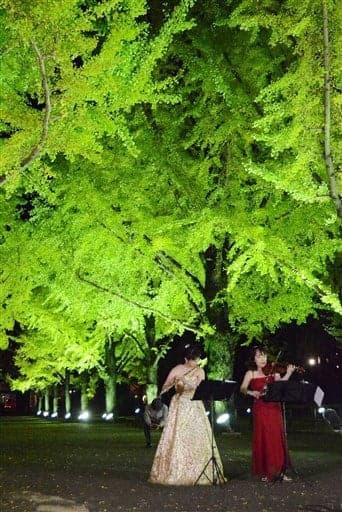 ライトアップが始まった県庁プロムナードのイチョウ並木=1日、熊本市(野方信助)
