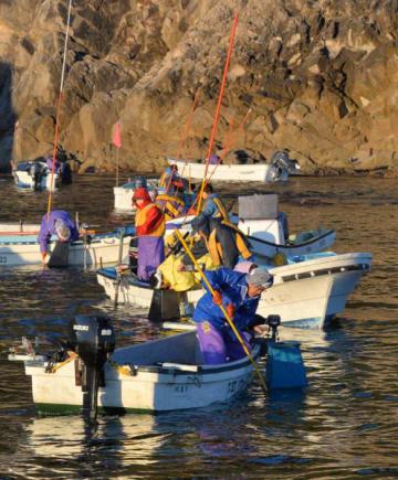 さおを巧みに操り、アワビを水揚げする漁業者=2日午前6時31分、宮古市・重茂地区