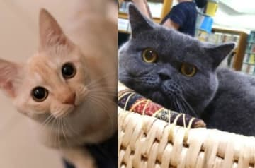 神保町にゃんこ堂の「リクジロウ店長」(左・@保護猫写真家ねこたろう)と猫ノ図書館の「むぎ館長」(右・胆沢図書館提供)