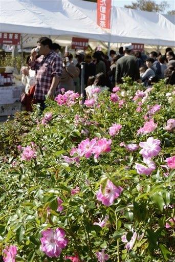 600種4千株のバラを楽しめる「水俣ローズフェスタ秋」。初日は園内で九州和紅茶サミットもあり、カップを手に歩く来場者が目立った=水俣市
