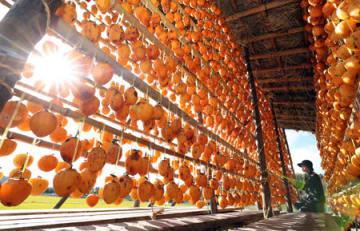 柿屋につるされ、陽光を浴びる柿。寒暖のうちに熟し、甘みを増す(滋賀県米原市日光寺)