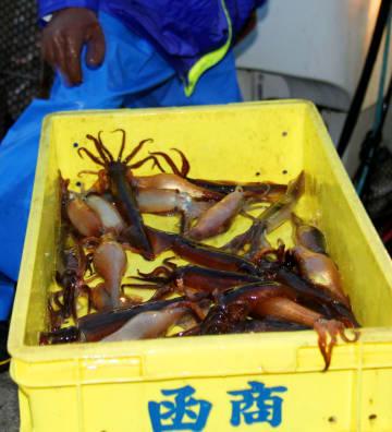 北海道函館市で水揚げされたスルメイカ。不正な漁獲品の輸入が国内の漁業者に損失をもたらす=2013年6月