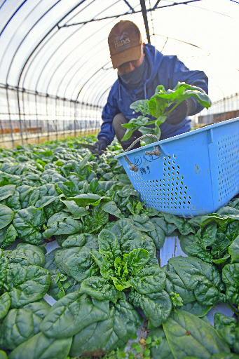 久慈地域で栽培が盛んな寒締めホウレンソウ。機能性表示食品の登録で生産拡大を目指す=2017年12月、洋野町