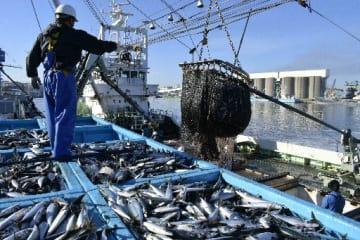今季最多の水揚げとなったサバ=5日、八戸市第1魚市場