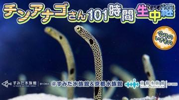 「チンアナゴさん101時間生中継@すみだ水族館&京都水族館」イメージ