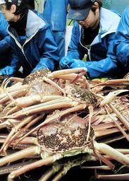 漁が解禁され、漁船に引き揚げられたマツバガニ=6日未明、新温泉町沖