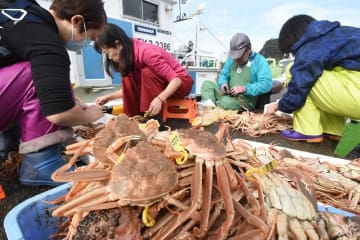 漁が解禁され、水揚げされた越前がにの足にGIマーク入りのタグ付け作業をする関係者ら=11月6日午前9時40分ごろ、福井県越前町大樟の越前漁港