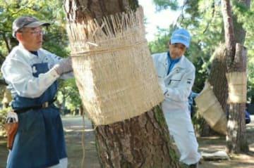 松の幹にこもを巻き付ける市職員ら=6日、別府市の別府公園