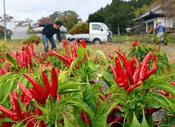 真っ赤に色づき収穫期を迎えたトウガラシ=6日午前、大田原市北野上