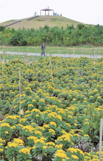 2号丘の北側で咲き誇るイソギク