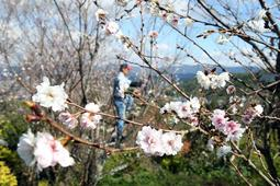 山の斜面に育つ寒桜。守本さんが木に登り1本ずつ丁寧に切り集めていく=川西市若宮水木谷