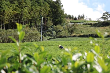Shizuoka tea farm