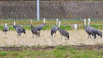 【田んぼに飛来した9羽のナベヅル(和歌山県白浜町で)】