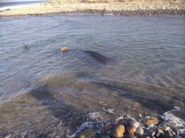 鳥取県琴浦町の勝田川河口付近に迷い込んだジンベエザメ=10日(鳥取県提供)