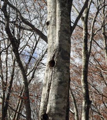 高さ7メートルほどの所に穴が開いたブナ。昨年10月以降にクマゲラが寝床として使ったとみられる=10日正午、西目屋村柴倉林道付近