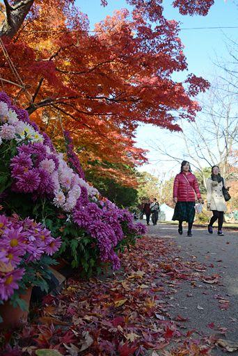 最終日は2万5千人が菊と紅葉の競演を楽しんだ=11日午後