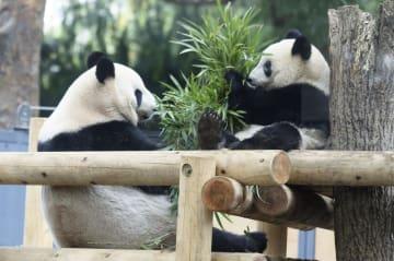母親と一緒にタケの葉を食べるジャイアントパンダの子どもシャンシャン。左は母親のシンシン=12日、東京・上野動物園(東京都提供)