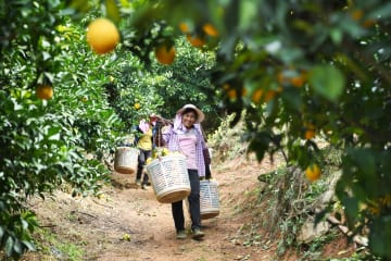 「ネーブルオレンジの里」、収穫期迎える 江西省尋烏県