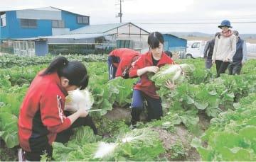大きく育った白菜を丁寧に収穫する生徒ら