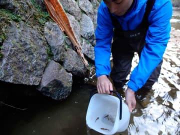 【川に放流するネコギギの稚魚=亀山市内で】