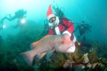 間近で泳ぐコブダイと「水中クリスマス」を満喫したダイバー=11日、佐渡市北小浦沖(佐渡スキューバダイビング協会提供)
