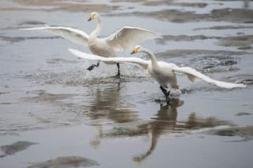 江蘇省盱眙県の湿地に多くの渡り鳥が飛来