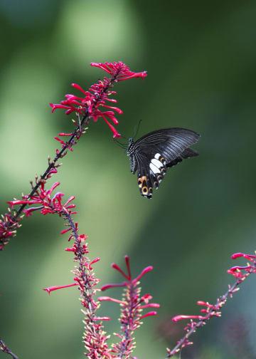 ヒギリの花から花へ飛び交うチョウ 福建省福州市