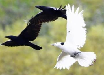 群れと行動する白いカラス。秋から1羽のみ頻繁に目撃されている=11月4日、平川市の道の駅いかりがせき周辺