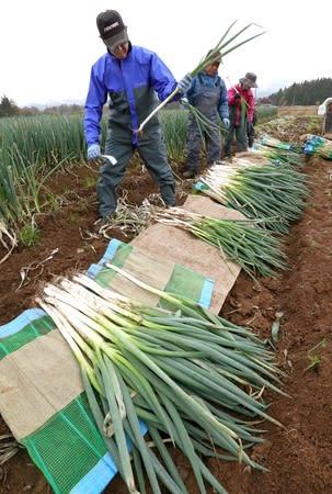 収穫され、真白な根元を現した長ネギ=長岡市関原町1