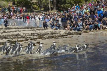第16回ペンギン·フェスティバル、南アフリカで開催