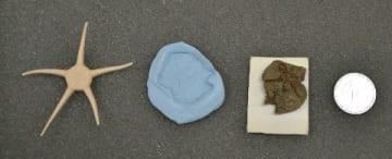 35年前発見の化石は新種 クモヒトデ展示始まる 御船町恐竜博物館 [熊本県]