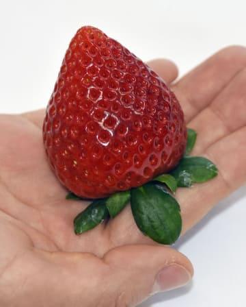 栃木県が開発したイチゴの新品種「栃木i37号」