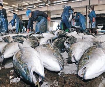 寒ブリ大群到来 金沢市中央卸売市場 「今年は豊漁」早くも1100本