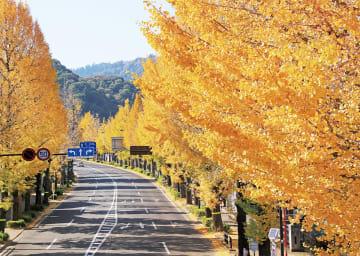 甲州街道沿いのイチョウ並木:八王子いちょう祭り祭典委員会提供