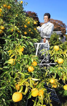 「ゆず香る里」再び 楢葉で収穫始まる