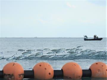 フロートの近くを泳ぐボラの群れ=14日午後、名護市辺野古(松田麗香撮影)