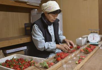 佐賀県が開発したイチゴの新品種「いちごさん」をパックに詰める生産者=15日午前、佐賀市