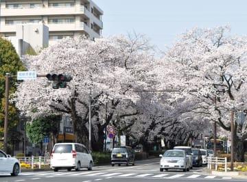 春には華やぐ桜のトンネルを演出する市役所さくら通り