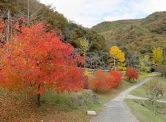 燃える赤 美作・滝宮ダムの楷の木