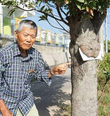 木が違法看板〝ぱくっ〟 「いかん!」警告? うるま市の県道街路樹