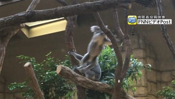 実は結構、動けます! コアラが木から木へと華麗にジャンプ