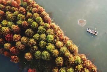セコイアの森色づく 江蘇省淮安市