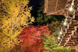 摩尼殿の外で照らし出されるイチョウやモミジ=16日夜、姫路市書写