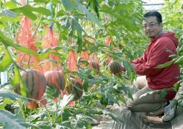 つるして育てる立体スイカ「かわいいボンボン」。右は生産者の赤星勝之さん=熊本市北区