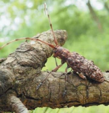松の樹皮を食べる標的のマツノマダラカミキリ(森林総合研究所の高梨琢磨主任研究員提供)
