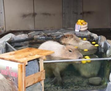 カピバラ、親子で露天風呂 いしかわ動物園で始まる