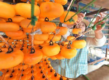 乾燥のため柿をつるす「果喜楽園やまもと」の山本寿江さん=常陸太田市国安町